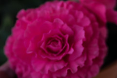 tuberous begonia (abbigail may) Tags: begonia pink floral flower softfocus lensbaby spring
