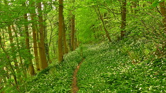 The Garlic Walk (Macca6691) Tags: wildgarlic ramsons alliumursinum countrywalks outdoors countryside trees tree foilage hildawood hackness scarborough northyorkshire nature weather rainshower panasoniclx5 panasonic wildflowers spring spring2018 flowers pathway