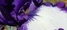 purple and white iris, cropped (Martin LaBar (going on hiatus)) Tags: southcarolina pickenscounty iris iridaceae irisdomestica lirio