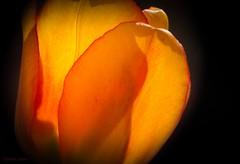 Sunlit Tulip - HMM. (Different Aspects) Tags: macromondays lowkey tulip flower yellow