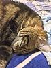 Sleeping Tigger (sjrankin) Tags: 14may2018 edited animal cat tigger closeup sleep futon bedroom yubari hdr hokkaido japan