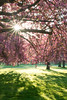 La vie en rose (David Khutsishvili) Tags: davitkhutsishvili cherry blossom sunstar spring d800 nikon nature morning sunrise blossoming trees sceaux parc paris idf hds