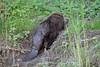 20180507-Flickr-0023 (Iris Harm Fotografie) Tags: bever beaver ed willem iris harm fotografie natuur outside nature outdoor buiten water biesbosch knagen geur afzetten tanden