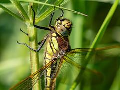 brachytron pratense - hairy dragonfly (ArtFrames) Tags: brachytron pratense hairy dragonfly northants reserve ditchford