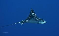 Swimming with an eagle ray (kyshokada) Tags: ray roatan reef eagleray underwater caribbean honduras sony scuba a7 animalplanet diving