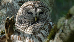 Barred Owl (photosauraus rex) Tags: bird owl barredowl