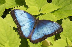 Butterfly 2018-30 (michaelramsdell1967) Tags: butterfly butterflies animal animals insect insects green blue morpho beauty beautiful pretty lovely macro nature upclose closeup wing wings detail vivid vibrant garden spring fragile delicate bug bugs colorful zen
