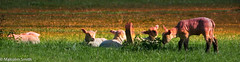 Enjoying The Sun (M C Smith) Tags: pentax k3ii green sunset gold stone lambs lamb weeds nettles