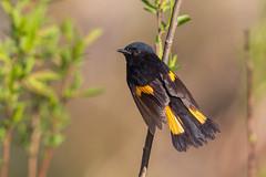 Paruline flamboyante / American redstart (Jean-Marc Cossette) Tags: americanredstart birds oiseaux parulineflamboyante