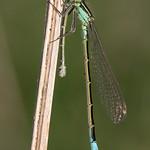 Blue-tailed Damselfly (Ischnura elegans) thumbnail