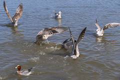 Rush ! (JLM62380) Tags: rush scramble ruée curée villerssurmer gulls seagullbirds animal goelands eau water nature