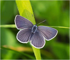 Small Blue (Antony Ward) Tags: smallblue butterfly closeup