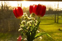 Flowers (Matt Champlin) Tags: spring springtime flowers glory snow green lush light beautiful earth growing growth life nature sun warmth canon 2018 home skaneateles