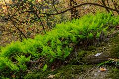 Ferns in Hidden Canyon (JordanFiveOh) Tags: springdale utah unitedstates us zion national park ferns fern canyon nature