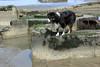 Tongue Out (JB by the Sea) Tags: sanfrancisco california april2018 fortfunston dog australianshepherd aussieshepherd aussie dash
