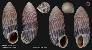 cerion ianthinum bahamas 24mm1