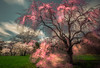 Unfinished dream 難圓一夢 (kaising_fung) Tags: spring cherry blossom flowers zeiss nikon d850 distagon 1528 movement motion blurr