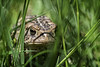 North American Toad (Frank C. Grace (Trig Photography)) Tags: toad northamericantoad grass mowing lawn nature acushnet ma massachusetts newengland nikon d850 macro 105mm micro