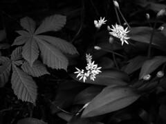 From deep in the garden (ronramstew) Tags: garden flower bloom birchmoor stmichaels liverpool merseyside bw blackandwhite