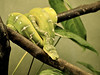 Emerald Tree Boa (Rackelh) Tags: snake boa reptile coldblooded animal zoo toronto canada