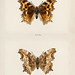 Compton Tortoiseshell (Grapta J-Album) from Moths and butterflies of the United States (1900) by Sherman F. Denton (1856-1937). Digitally enhanced from our own publication.