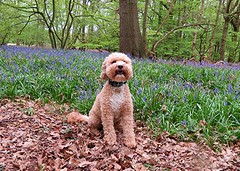 Bluebell Wood and Stanley (Stuart Axe) Tags: stanley cockerpoo dog pet poodle doggy puppy doggie pets stan uk england unitedkingdom gb greatbritain ralphandstanley bluebell bluebells bluebellwood plant plants flower flowers wood essex countyofessex countryside spring springtime tiptree greatbraxted tiptreeheath heath tiptreeroad nature littlebraxted