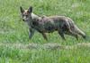 Coyote (Canis latrans) (fugle) Tags: pleasantvalley coyote washoeco nevada