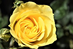 The Yellow Rose (Κώστας ex Tungmay) Tags: rose yellow flower plant macro