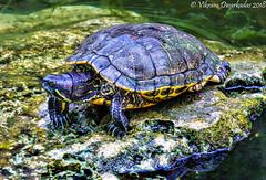 Turtle, Playa Del Carmen, Mexico (vdwarkadas) Tags: turtle playadelcarmen mexico amphibian sony sonya6000 sonyilce6000 animals shell