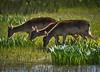 Composició de colls / Three necks (SBA73) Tags: catalunya catalonia katalonien catalogne catalogna cataluña aiguamolls marsh marshland empordà aiguamollsdelempordà daina cervol cervid damadama cervusdama deer fallowdeer