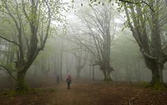 Albertia (Paulo Etxeberria) Tags: pagadia hayedo beechforest hêtraie albertia legutio lainoa niebla fog brouillard lepaketa trasmocho pollarding étêtage mendizaleak montañeros hikers randonneurs hojaraska