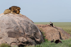 Just Try! (Hector16) Tags: pantheraleo namiriplains eastafrica tanzania serengeti lion wildlife nature shinyangaregion tz ngc