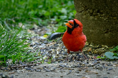 Male Cardinal gobbling down seeds in my back yard (John Brighenti) Tags: sony alpha a7 photography rockville maryland cardinal bird feather feathers beak seeds ground grass green concrete sidewalk red wildlife outdoors backyard yard spring tweet chirp nature animal animals male
