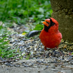 Male Cardinal gobbling down seeds in my back yard thumbnail