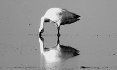 P1080842 (kchocachorro) Tags: bnw blackandwithe blackandwhite goose naturephoto naturephotography naturaleza wild wildbirds naturewild naturelover phothographer