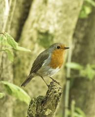 Robin (Mal.Durbin Photography) Tags: forestfarm maldurbin wildlifephotography wildlife birds
