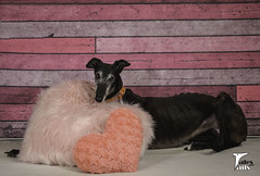 All Is Full Of Love (houndstooth4) Tags: dog greyhound flattery dogchal ddc 1952 52weeksfordogs heart