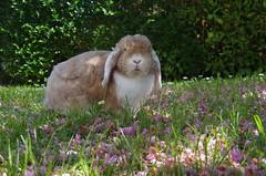 Bambam 05/2018 (jlfaurie) Tags: bambam052018 lesmesnuls casa jardin printemps primavera conejo lapin rabbit bunny garden spring yveline france francia bambam jlfr jlfaurie eglise