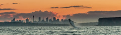 SunsetManlyHeads (sjsimages) Tags: sydney sydneyskyline cityscape whales whalewatch manlyheads northhead sunset sydneyheads