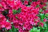 Eye-Catching Azalea (Mabacam) Tags: 2018 london richmond richmonduponthames richmondpark isabellaplantation park garden outdoors spring shrub azalea blooms red