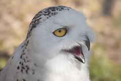 Snowy owl (Nina_Ali) Tags: owl bird avian feathers beak nature snowyowl