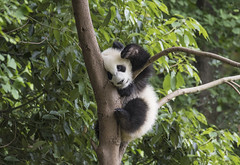 China. (richard.mcmanus.) Tags: china sichuan panda giantpanda wildlife animal mcmanus mammal