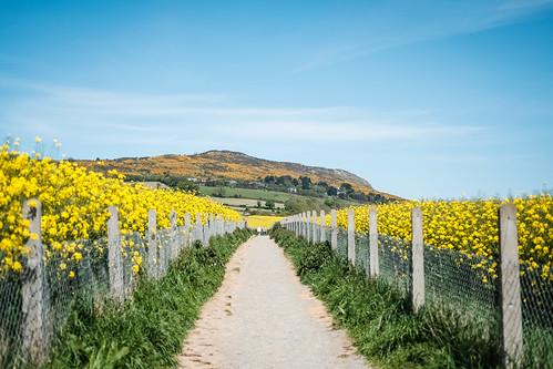 Rapeseed Fields Walk