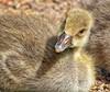 Little Miss Duckling, looking Cute!😁 (LeanneHall3 :-)) Tags: duckling bird yellow feathers beak nature wildlife closeup closeupphotography eastpark hull kingstonuponhull canon 1300d