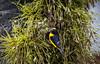 Building the Nest. (Pablin79) Tags: nonurbanscene freedom nature bird colors light animal closeup portrait yellow violet posadas misiones argentina palmtree nest violaceouseuphonia tangara dof bokeh