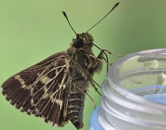 Hydrate Hydrate Hydrate (MJRodock) Tags: moth insect hydration h2o water em1 olympus mzuiko digital ed 40150mm f28 pro macro