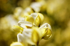 Cytisus (Mike.Dales) Tags: cytisus flowers macro canon50mmf18stm extensiontube kooka bokeh yellow northyorkshire brooms