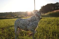 luz (albavv46) Tags: dog pet dalmatian lola sunny sunset light galicia spain canonphotography canon nature naturephotography naturaleza luz contrast friend spots day may amateur