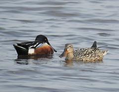Pair of Shoveler Ducks - Cresswell (Gilli8888) Tags: nikon p900 coolpix northumberland cresswell cresswellponds water wetlands countryside birds waterbirds ducks shoveler shovelerduck pair two