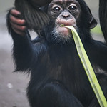 Young chimp with leek thumbnail